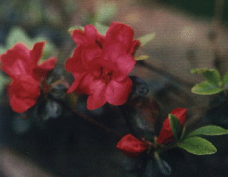 azalee heidekrautgew chs rhododendron ericaceae. Black Bedroom Furniture Sets. Home Design Ideas
